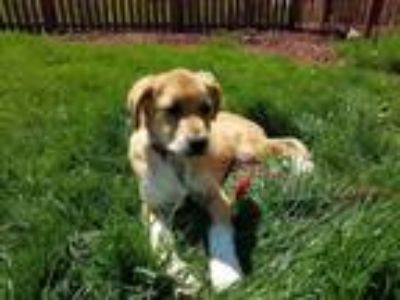 Adopt Bailey a Great Pyrenees