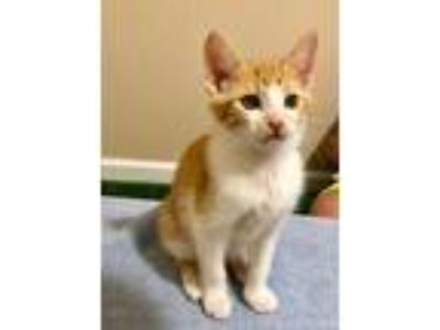 Adopt Relish (603-19) a Domestic Short Hair