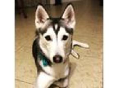 Adopt Dakota a Black - with White Siberian Husky / Mixed dog in Winter Springs