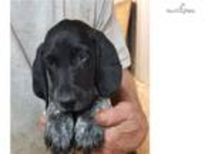 Black roan & patched gsp puppy