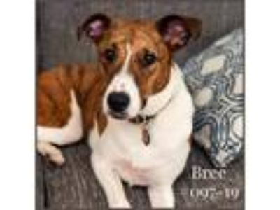 Adopt Bree a White - with Brown or Chocolate Greyhound / Mixed dog in New