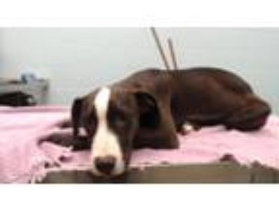 Adopt Pebbles a Pit Bull Terrier