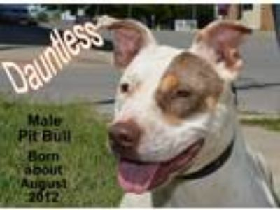 Adopt Dauntless a White - with Brown or Chocolate Pit Bull Terrier / Mixed dog