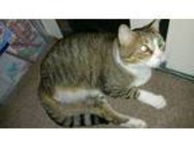 Adopt Paws a Brown Tabby Colorpoint Shorthair / Mixed cat in Sulphur Springs