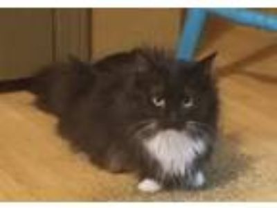 Adopt Calypso a Black & White or Tuxedo Domestic Longhair (long coat) cat in