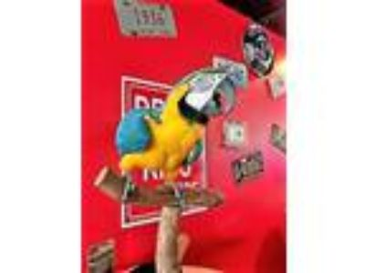 Adopt Captain Morgan a Macaw