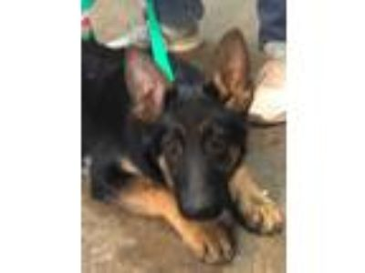 Adopt Lorraine a German Shepherd Dog