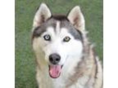 Adopt Balto a Black - with Gray or Silver Siberian Husky / Mixed dog in