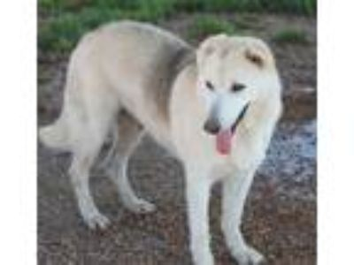 Adopt Secret a White Husky / Shepherd (Unknown Type) / Mixed dog in Jewett City