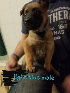 Belgian Malinois PUPPY FOR SALE ADN-101750 - Malinois Puppys