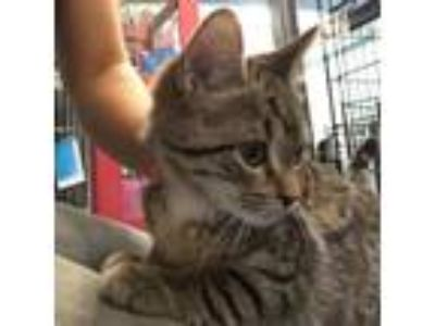 Adopt Paisley a Brown or Chocolate Domestic Shorthair cat in Roanoke