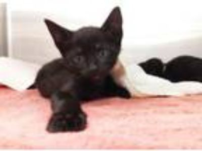 Adopt NACHO a Domestic Short Hair