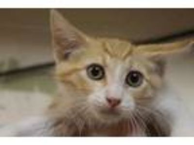 Adopt Joshua a Orange or Red Domestic Shorthair / Domestic Shorthair / Mixed cat