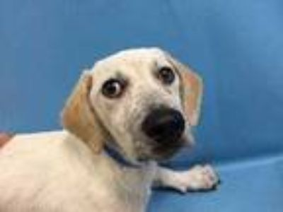 Adopt Mango a White Hound (Unknown Type) / Mixed dog in St. Paul, MN (25872390)