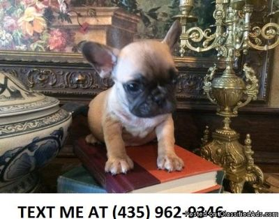 H%100 AKC French bulldog puppies for sale