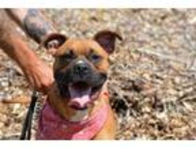Adopt Roscoe a Brown/Chocolate Boxer / Boxer / Mixed dog in Pendleton
