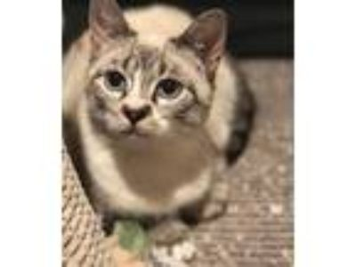 Adopt Ursula a Siamese / Mixed (short coat) cat in Valley Park, MO (24972901)