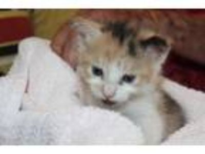 Adopt Mischelle a White Domestic Shorthair / Domestic Shorthair / Mixed cat in