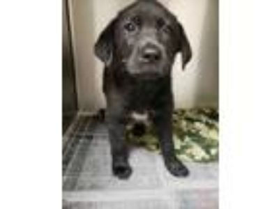 Adopt Katalina a Black Labrador Retriever / Mixed dog in Louisburg