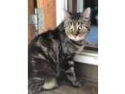 Adopt Cleopatra a Domestic Short Hair, Tabby