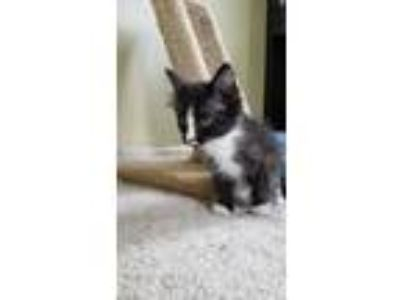 Adopt Ariel (Mrs Scarlett) a Domestic Medium Hair