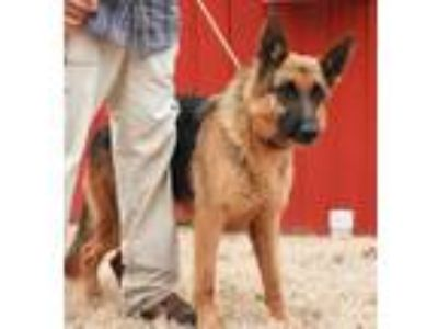 Adopt Esko a German Shepherd Dog