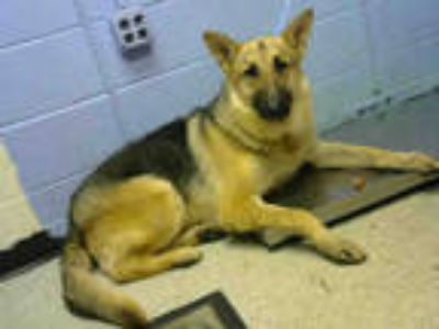 Adopt KUNALI a Brown/Chocolate - with Black German Shepherd Dog / Mixed dog in