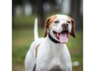 Adopt Olive a Pointer / Mixed dog in St. Petersburg, FL (25129637)