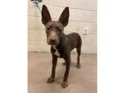 Adopt Fancy* a Brown/Chocolate Pharaoh Hound / Mixed dog in Anderson