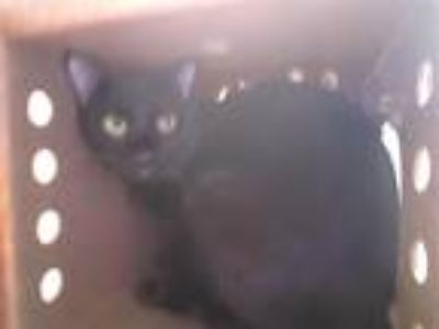 Adopt Night a Domestic Shorthair / Mixed cat in Norman, OK (24664984)