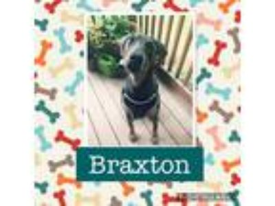 Adopt Braxton a Gray/Blue/Silver/Salt & Pepper Doberman Pinscher / Mixed dog in