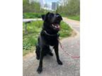 Adopt Baymax a Black - with White Labrador Retriever / Mixed dog in Davenport