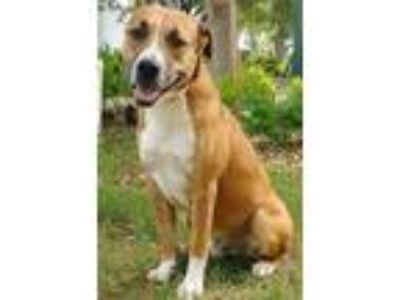 Adopt JAMES a Labrador Retriever, Boxer