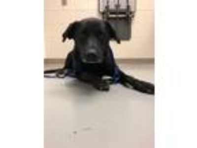 Adopt Griselda a Labrador Retriever, Mixed Breed