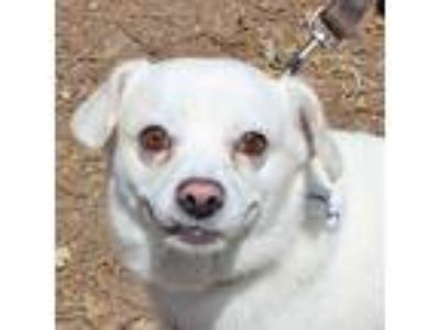 Adopt Limestone a White Pug / Terrier (Unknown Type, Small) / Mixed dog in