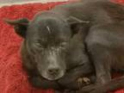 Adopt IVY a Black Labrador Retriever / Australian Cattle Dog / Mixed dog in