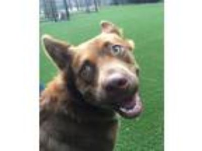 Adopt Bonnie a German Shepherd Dog, Collie