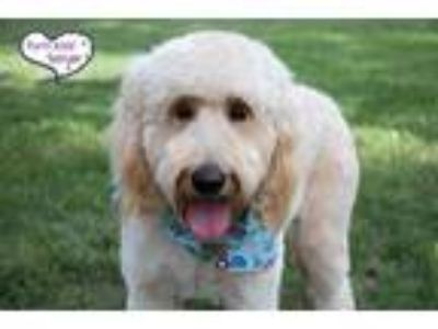 Adopt Tillie - Special Needs a Tan/Yellow/Fawn Golden Retriever / Poodle