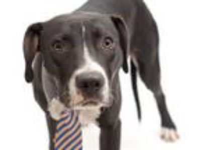 Adopt BLACKIE a Pit Bull Terrier