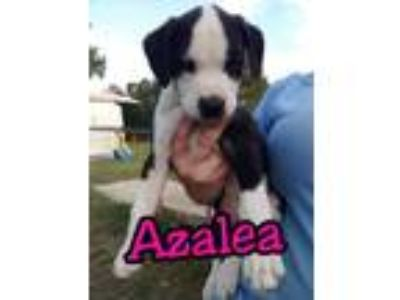Adopt Azalea a Labrador Retriever, Border Collie
