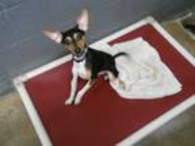 Adopt T.C. ADOPTION PENDING a Black - with White Rat Terrier / Beagle / Mixed