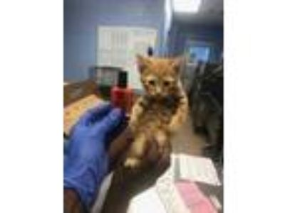 Adopt Daddy a Orange or Red Domestic Shorthair / Domestic Shorthair / Mixed cat