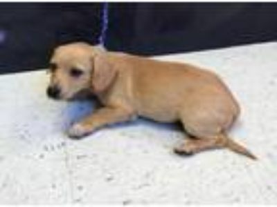 Adopt Jack a Dachshund, Mixed Breed