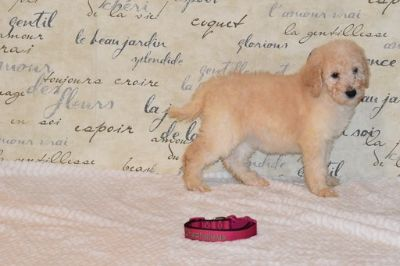 Goldendoodle-Poodle (Standard) Mix PUPPY FOR SALE ADN-108960 - Meet Calyn F1bb Goldendoodle