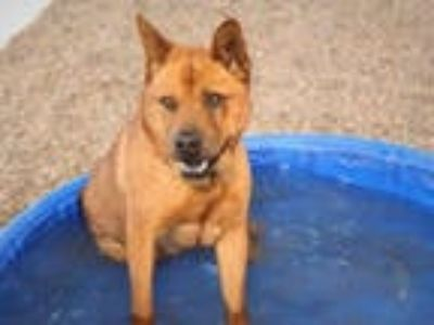 Adopt GAVIN a Red/Golden/Orange/Chestnut Chow Chow / American Pit Bull Terrier /