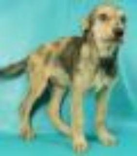 Patricia Catahoula Leopard Dog - Standard Poodle Dog