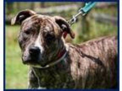 Adopt Triton Gentle Gorgeous CALM Brindle Boy a Brindle Terrier (Unknown Type