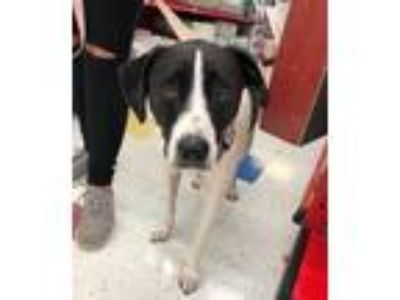 Adopt Winnie a Black - with White Labrador Retriever / Mixed dog in Hillside