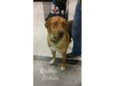 Adopt Buster Brown a Red/Golden/Orange/Chestnut Hound (Unknown Type) / Mixed dog