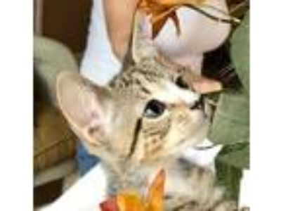Adopt Stanley a Gray, Blue or Silver Tabby Domestic Shorthair (short coat) cat